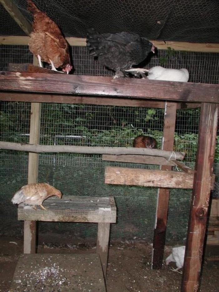 DIY Chicken Jungle Gym