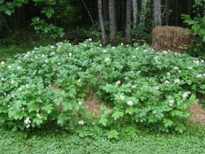 Grow potatoes in hay bales