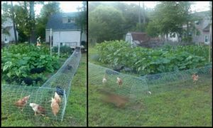 Let the chooks help with gardening by making a moveable chicken tunnel!