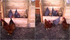 Learn how to compost with chickens!