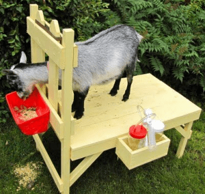 How to Build a Goat Milking Stand