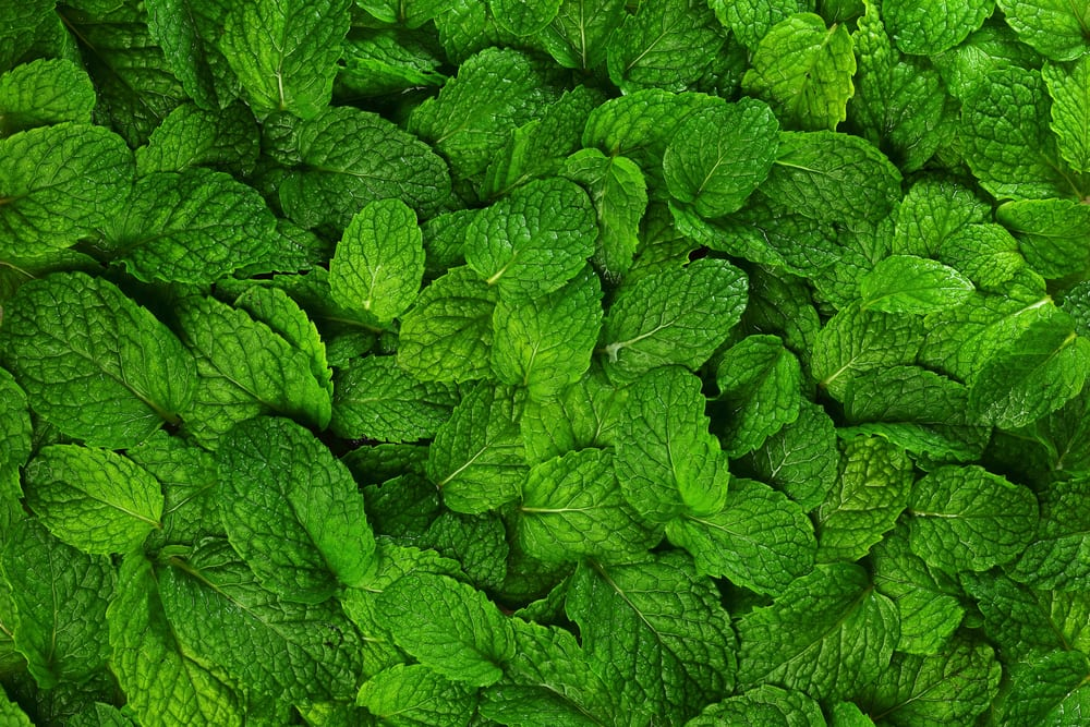 Plants such as peppermint and spearmint are natural insect deterrents.